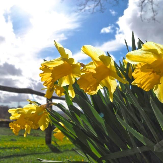 """Spring Daffodils"" stock image"