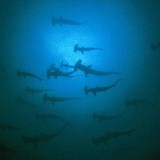 """Hammerhead sharks"" stock image"