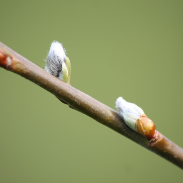 """Willow buds"" stock image"