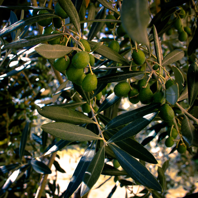 """Olive Branch"" stock image"