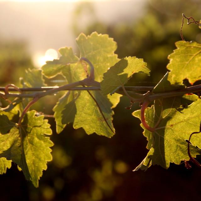 """Grape vines"" stock image"