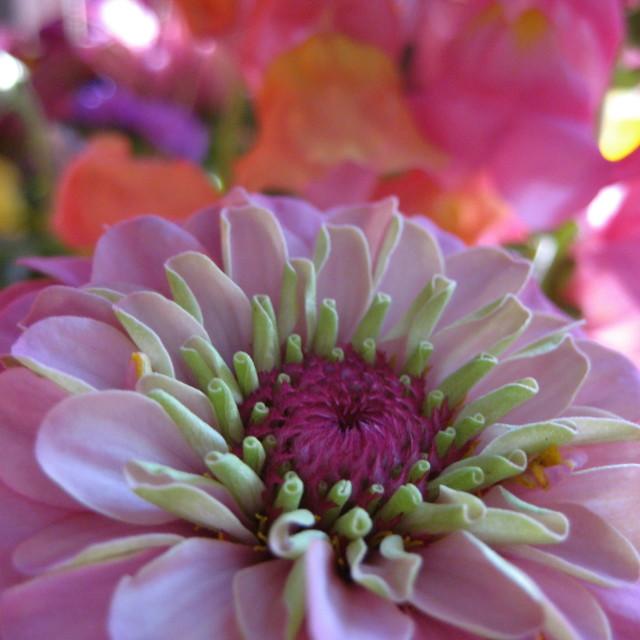 """Pink zinnia"" stock image"