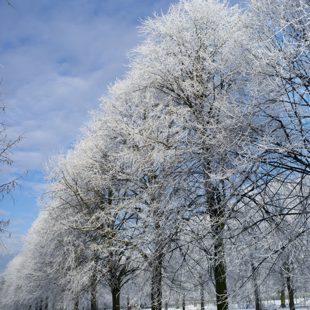 """Avenue of Trees in Winter (upright)"" stock image"