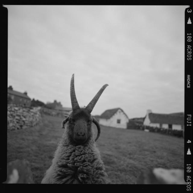 """Loaghtan Sheep"" stock image"