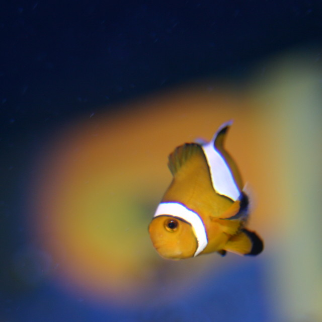 """Clown fish"" stock image"