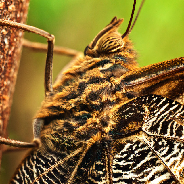 """Giant Owl Butterfly"" stock image"