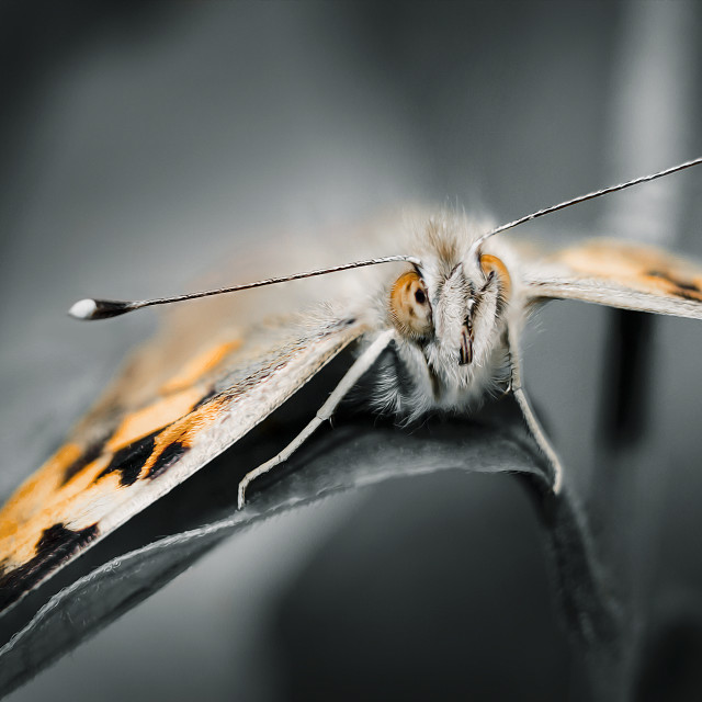 """Macro Butterfly"" stock image"