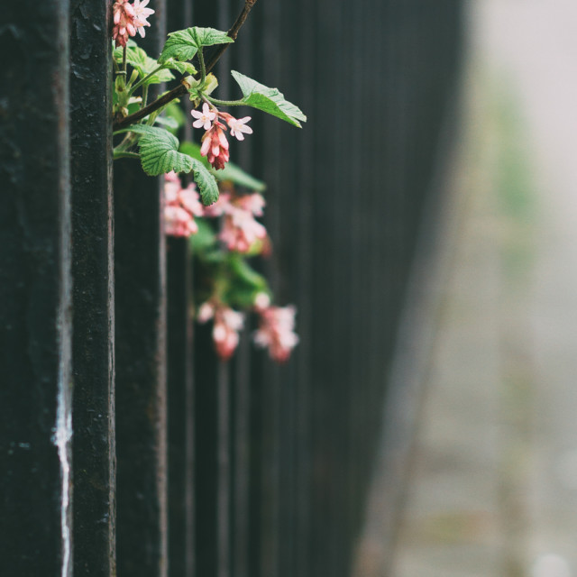 """Pink flowers through a fence"" stock image"