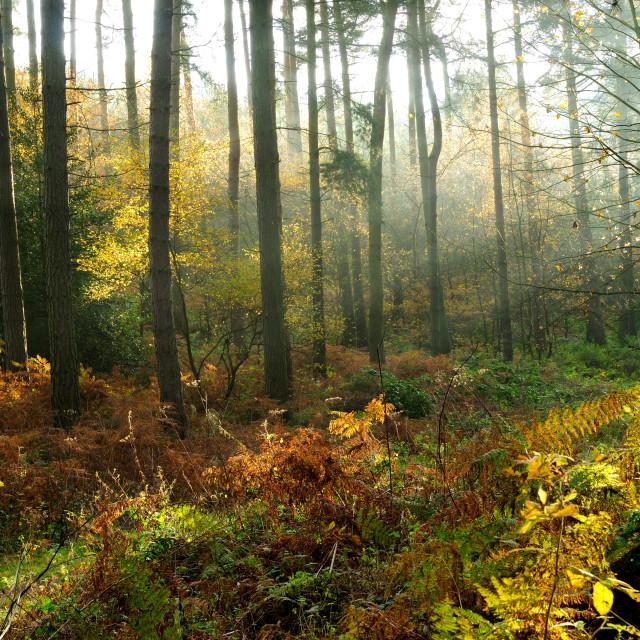 """""""Sherwood Forest ,Nottinghamshire,UK."""" stock image"""