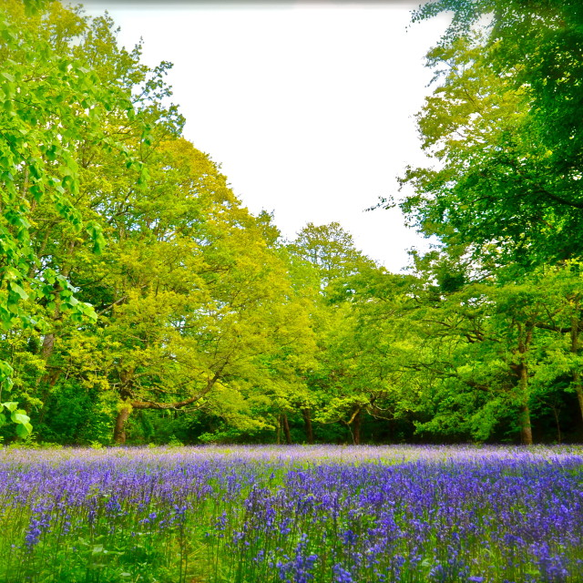 """""""Enys Gardens BlueBell Display."""" stock image"""