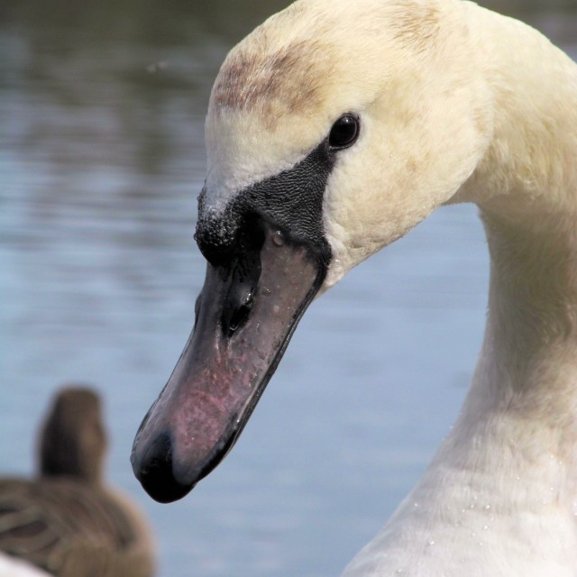 """Young Mute Swan"" stock image"