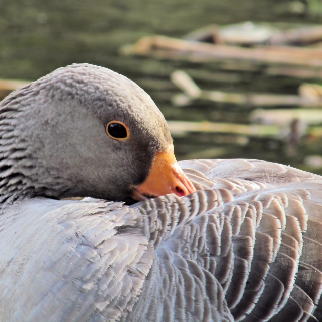 """Resting Greylag Goose"" stock image"