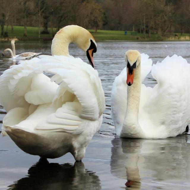 """Swans Pairs"" stock image"