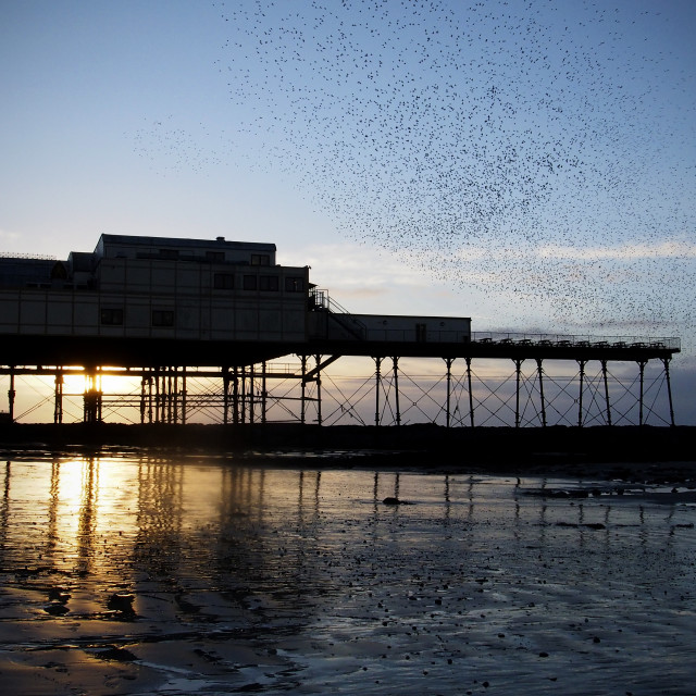 """Seaside murmuration"" stock image"