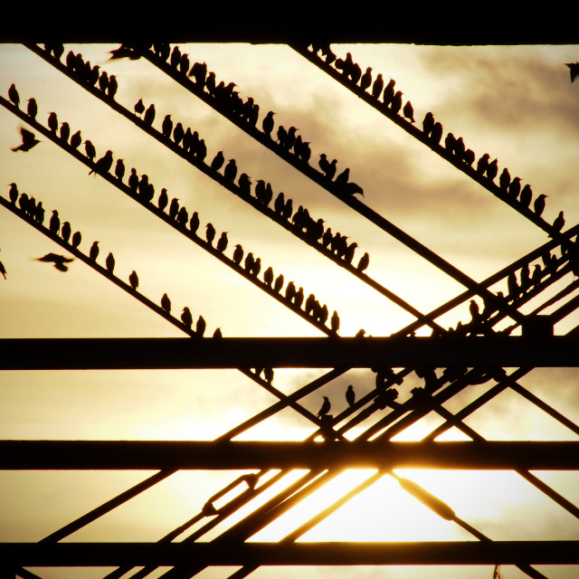 """Roosting starlings"" stock image"