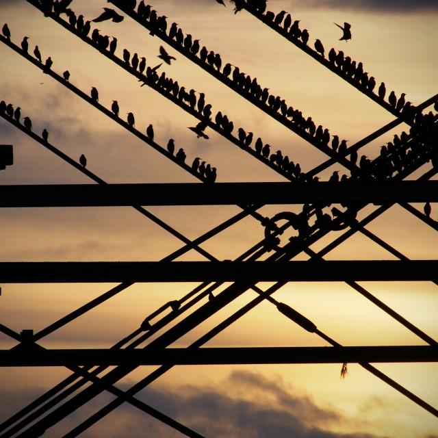 """Roosting starlings"" stock image"