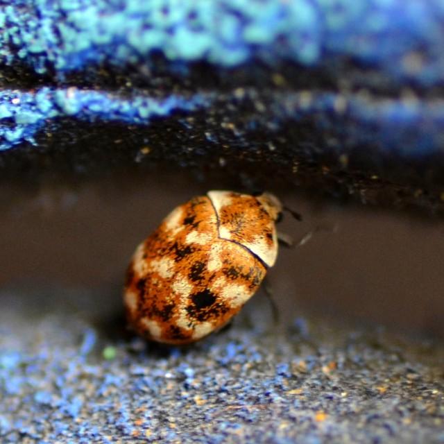"""Carpet Beetle"" stock image"