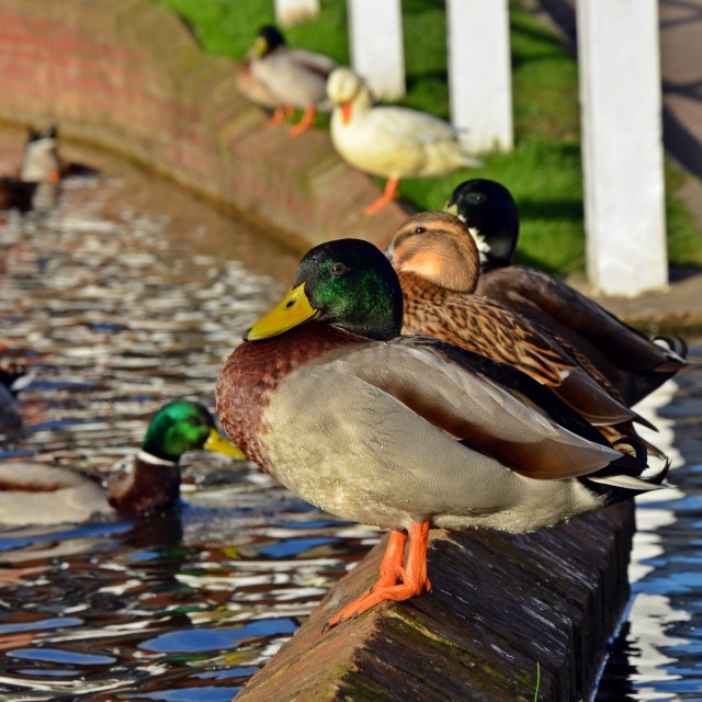 """""""Ducks in a row"""" stock image"""