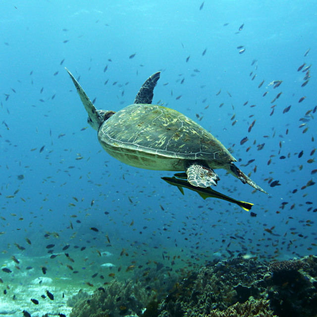 """""""Sea turtle and coral"""" stock image"""