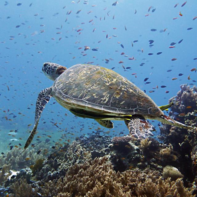 """Sea turtle in Balicasag Island"" stock image"