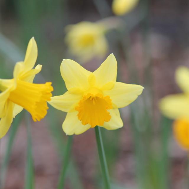 """3 Daffodils"" stock image"
