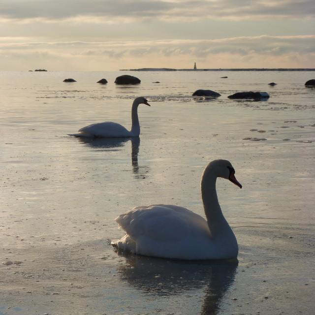 """Swans on Frozen Sea"" stock image"