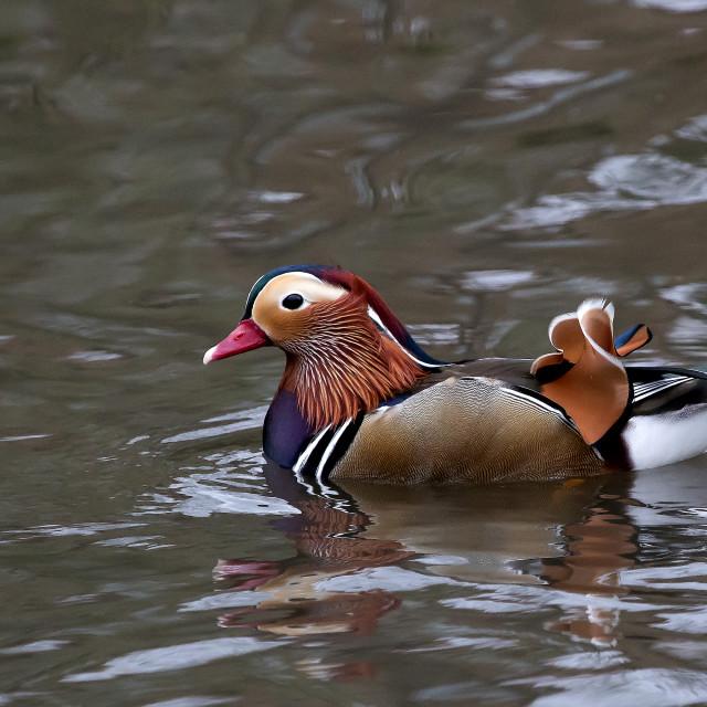 """Mandarin Duck 2"" stock image"