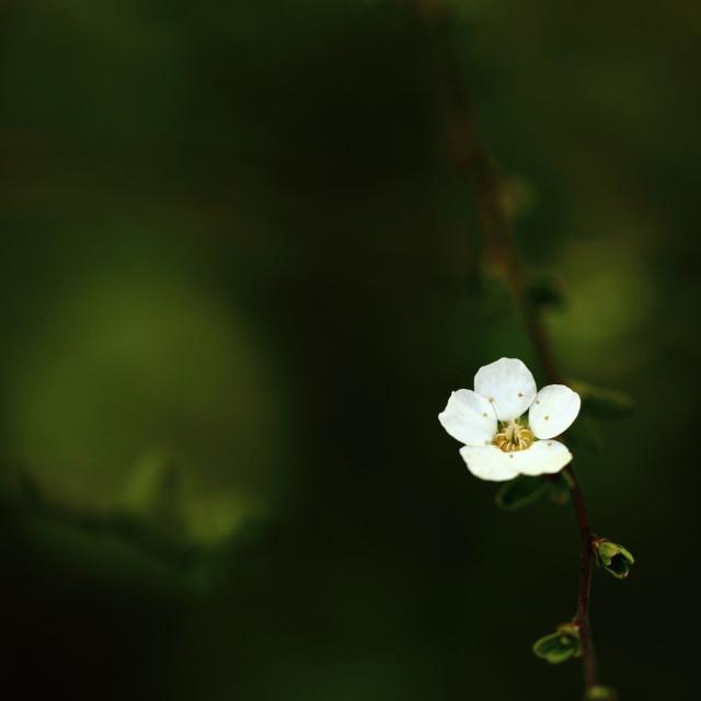 """""""Spirea Bloom"""" stock image"""