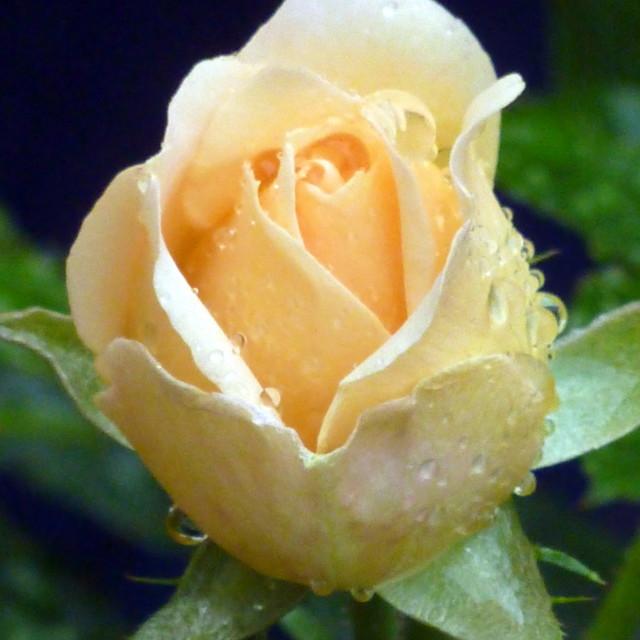 """""""Budding Rose"""" stock image"""