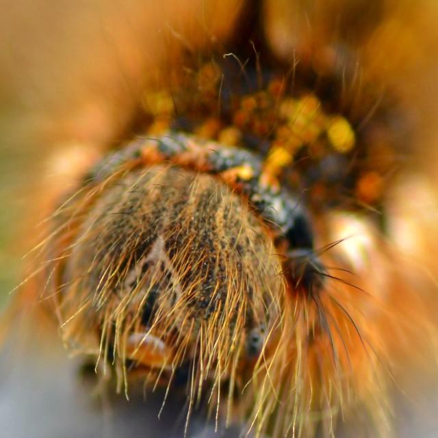 """Caterpillar - Drinker Moth"" stock image"