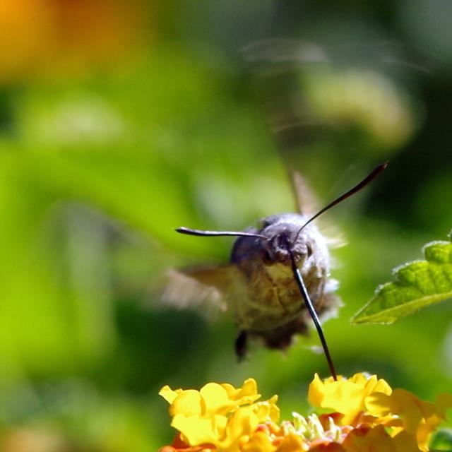 """Hummingbird Moth (2)"" stock image"
