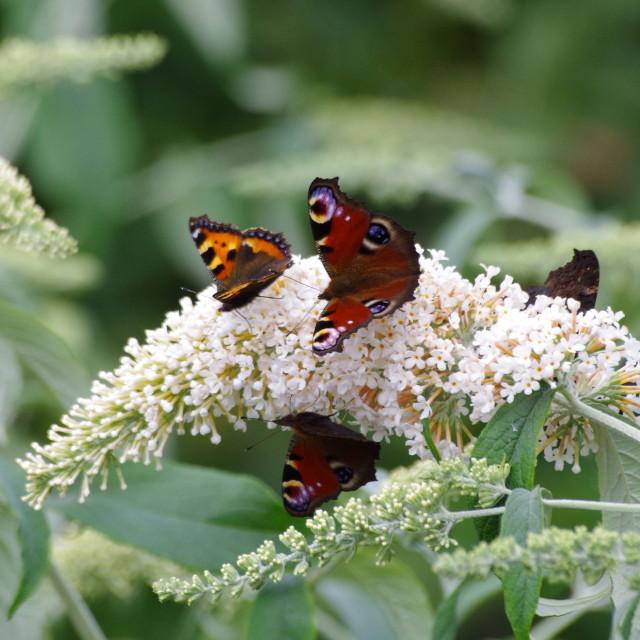 """Butterfly Bonanza"" stock image"