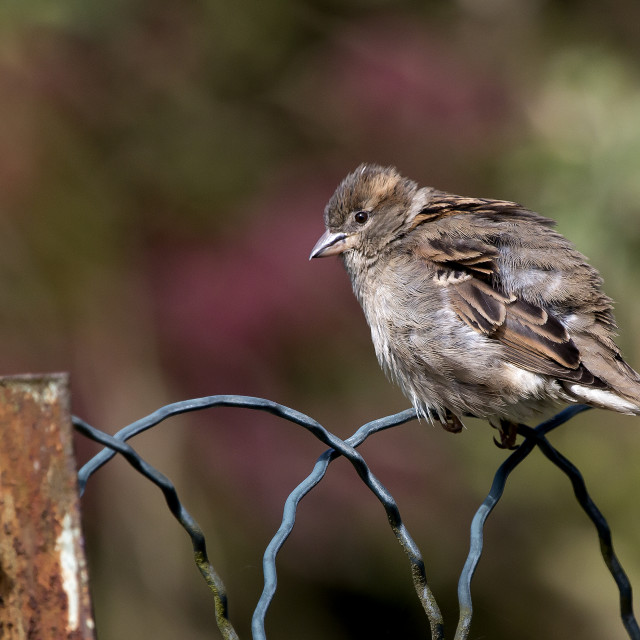 """Sparrow on a fence."" stock image"