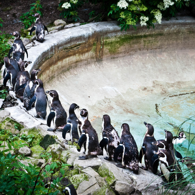 """Penguins on parade"" stock image"