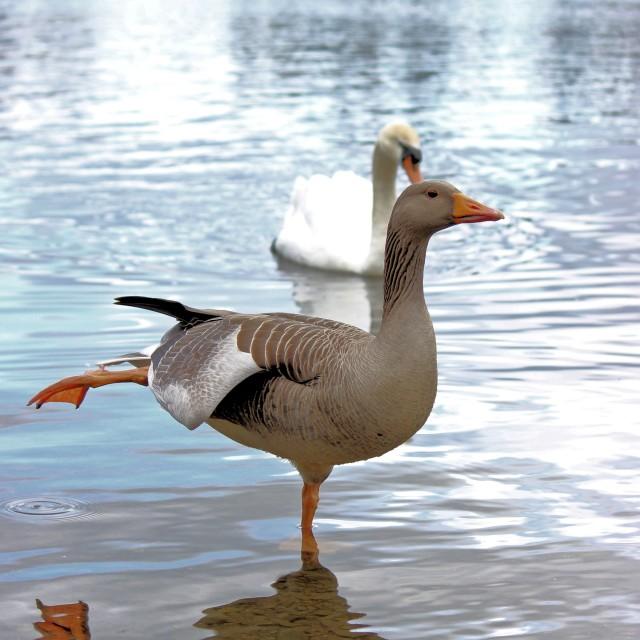 """Greylag Goose Ballerina"" stock image"
