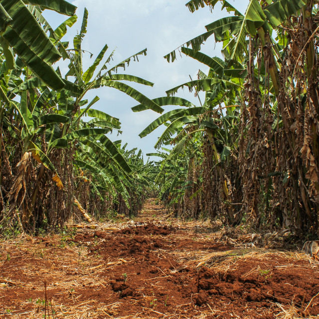 """Banana Plantation"" stock image"