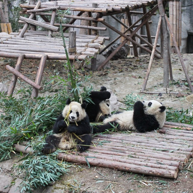 """Lazy Pandas"" stock image"