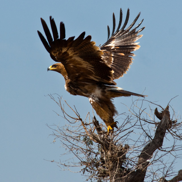"""Steppe Eagle ii"" stock image"