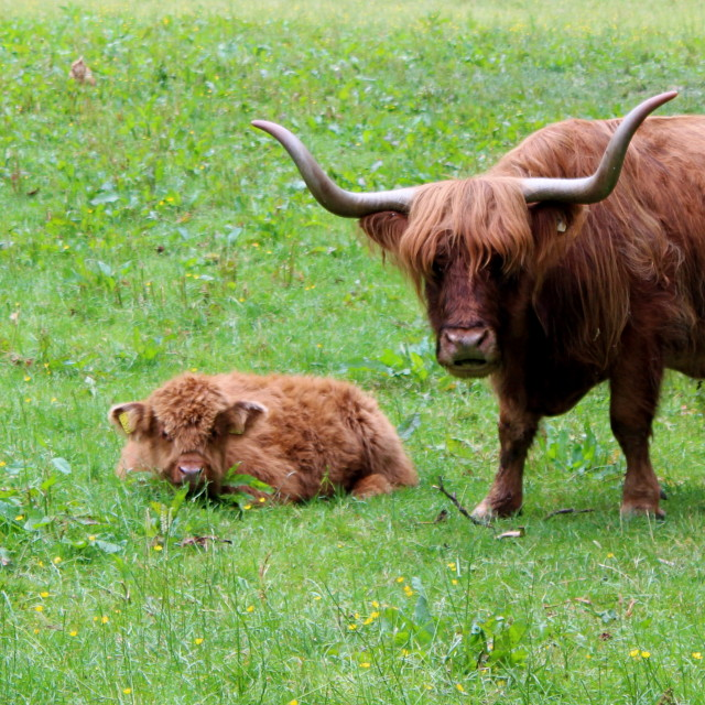 """""""Highland cow and her calf"""" stock image"""