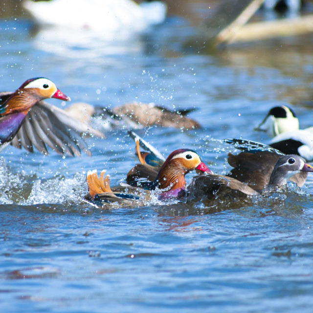 """Mandarin Ducks"" stock image"