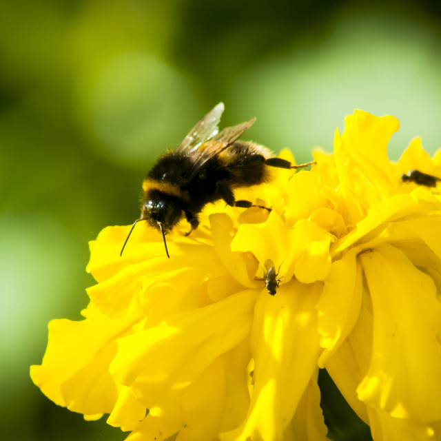 """Busy Bee"" stock image"
