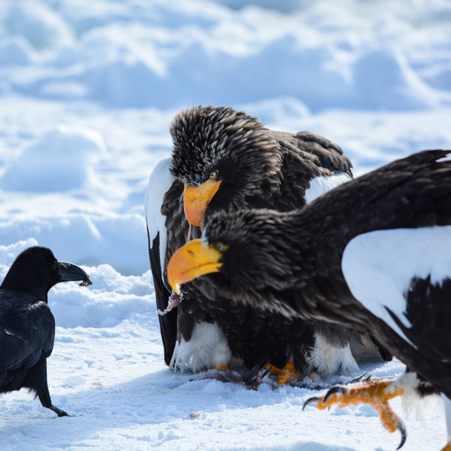 """""""Stellar's sea eagles with crow"""" stock image"""