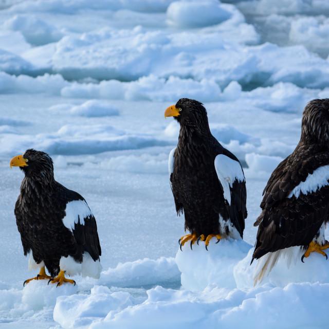 """Stellar's sea eagles"" stock image"