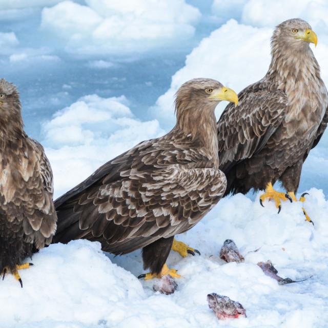 """""""Sea eagles"""" stock image"""