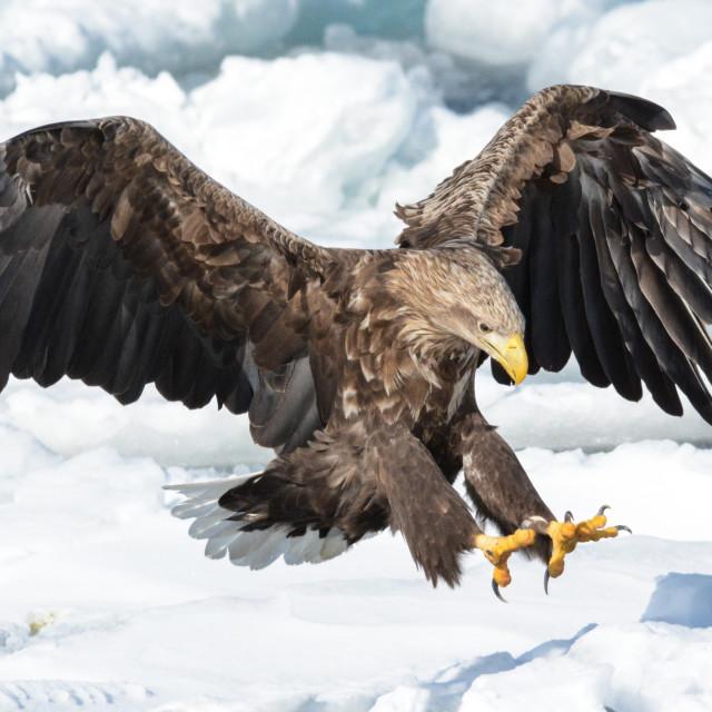 """""""Sea eagle"""" stock image"""