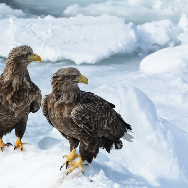 """Sea eagles"" stock image"