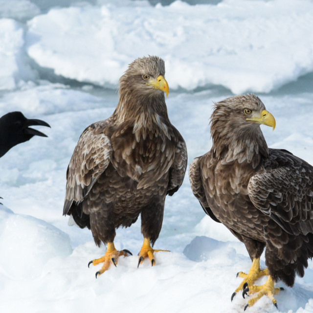 """Sea eagles with crow"" stock image"