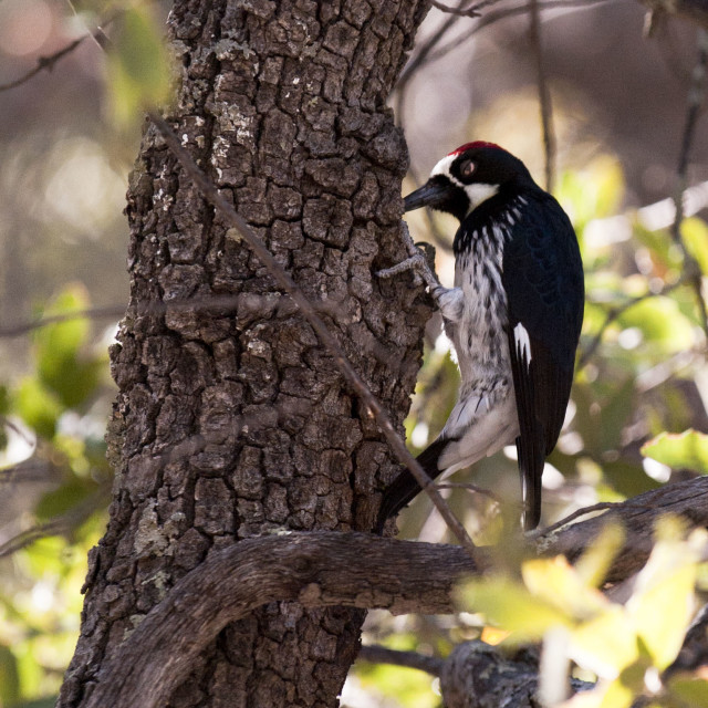 """Acorn Woodpecker"" stock image"