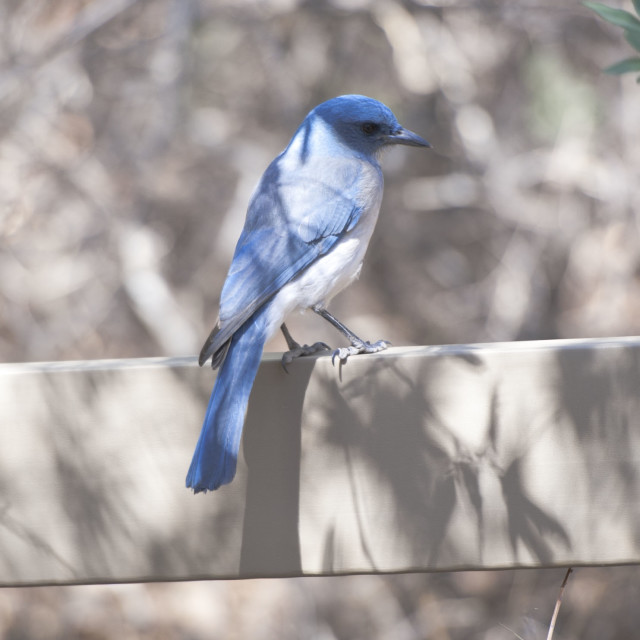 """Mexican Bluebird"" stock image"