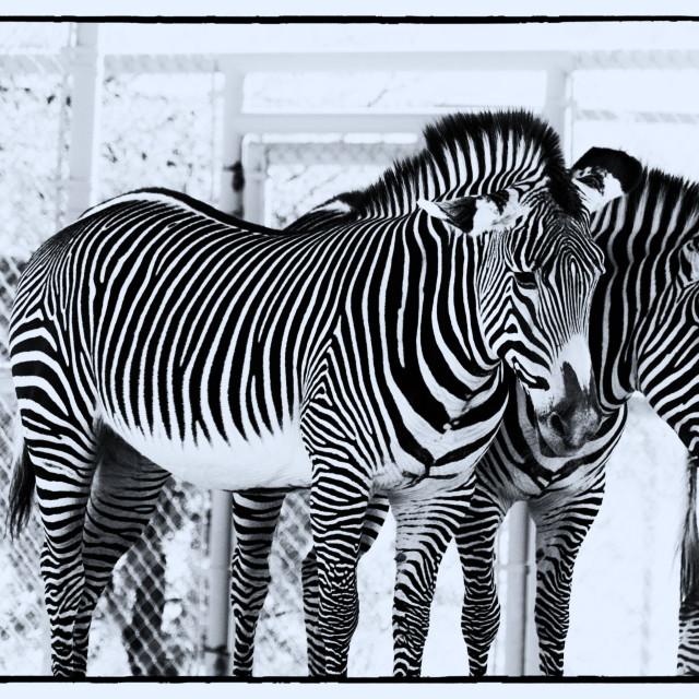 """""""Zebras Resting"""" stock image"""